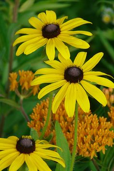 Black Eyed Susan Seed (Rudbeckia hirta) Light: 	Full Sun, Partial Soil: 	Sand, Loam, Clay Moisture: 	Dry, Medium, Moist Benefits: 	Butterflies, Pollinators, Birds, Deer Resistant Height: 	1'-3' Blooms: 	Jun, Jul, Aug, Sep Zones: 	3, 4, 5, 6, 7, 8, 9, 10 Color: 	Yellow Spacing: 	1' Root: 	Fibrous