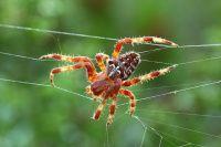 Fotos de arañas   Los araneidos son una familia de arañas araneomorfas compuesta por unas 2999 especies divididas en 170 géneros.  #arañas