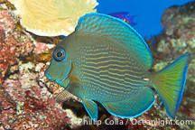Acanthurus coeruleusBlue tang surgeonfishRange: Western Atlantic: New York, USA and Bermuda to the Gulf of Mexico and Brazil. Eastern Atlantic: Ascension Island