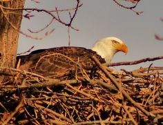 Eagle in Nest.  Port Hope, Mi.  2-4-12