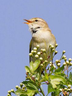 Beautiful birds bringing Spring with them - Willow warbler by Andrew Haynes