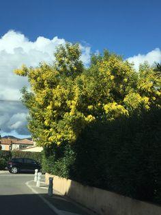 Sainte maxime #mimosa #var #fleurs