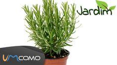 Plantar Alecrim - Ervas Aromáticas