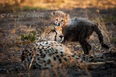 Cheetah with her cub late afternoon at Kgalagadi Transfrontier Park, South Africa. Photo by Christine Lamberth Cheetah, Cubs, South Africa, Wildlife, Fox, Park, Photos, Animals, Cheetah Animal