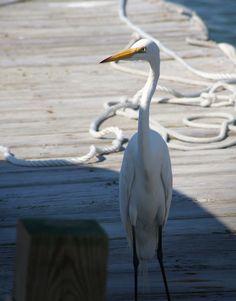 Great egret Beaufort, SC