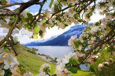 Blomstring i Hardanger, her sett fra Ullensvang i Sørfjorden. (SEE GRETE ANDERSENs Boards re: Norway)