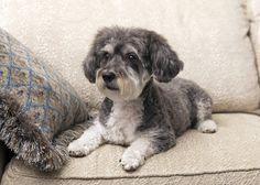 Schnoodle - Miniature Schnauzer/Poodle
