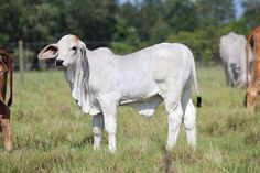 Brahman Calves for Sale in Florida Calves For Sale, Cattle Barn, Cute Animals, Horses, Cows, Costa Rica, Farming, Florida, Farmer