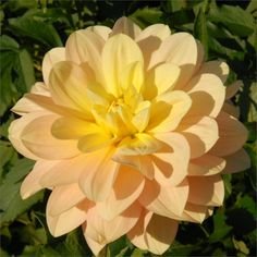 "DAY DREAMER (WL) Introduced in 2009. A super cut flower. 4"" soft yellow blooms that blends to a soft apricot."