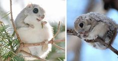 Japanese And Siberian Flying Squirrels Are Probably The Cutest Animals On Earth   Bored Panda