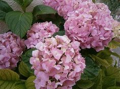 This domain used to be connected to a Wix website. Learn how to reconnect it, or create your own website. Hydrangea Macrophylla, Create Your Own Website, Photo L, Create Yourself, Flowers, Plants, Hydrangeas, Plant, Royal Icing Flowers