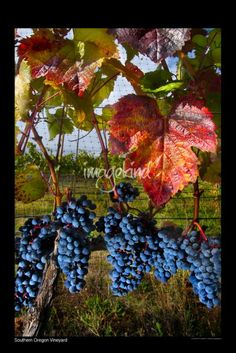 """""""X SouthernOregonVineyard"""" by Roy Musitelli, Medford, Oregon //  // Imagekind.com -- Buy stunning fine art prints, framed prints and canvas prints directly from independent working artists and photographers."""