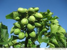 The energy crop Jatropha curcas is an oil plant with great potential to win bioenergy for dry regions. #biofuels #perennial