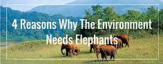 Elephants are known as a keystone species - they have a large effect on their environment and impact the biodiversity surrounding them. Elephants Playing, Save The Elephants, Volunteer Abroad, Wildlife Conservation, Habitats, Environment, Blog, Blogging