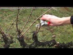 Spur Pruning Grapevines