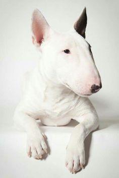 Blanc #bullterriers                                                       …