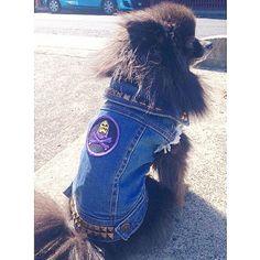 ⚡️ BEHOLD THE FUZZ⚡️ This badass little fuzz butt is @misfit_the_pomeranian all studded up our Battle Jacket. Damn cute and ready for the weekend! ••••••••••••••••••••••••••••••••••••••••••• #battlejacket #denim #pethaus #rockdog #metaldog #badtothebone #pomeranian #fuzzbutt #instapom #dogsofmelbourne #weeklyfluff #pomsofinstagram #pomeranianlove #pethauspack