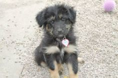 Oglala Pet Project's Mavis is a sweet little girl who is looking for her forever home! Mavis is 11 weeks old, spayed, current on her shots and deworming. Mavis loves other dogs, cats and kids. She's so cute with her fluffy fur! Applications can be requested by emailing andrea@oglalapetproject.org Repin to help good pets find good homes. #Cute #dog #OglalaPetProject #puppy