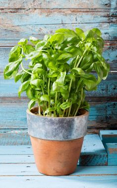 Heirloom Italian Basil Herb Seed Garden Organic Non Gmo Genovese Variety Container Friendly