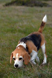 Le Beagle, Top 10 des races de chien de petite taille
