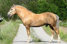 Palomino colored Finnhorses are very rare. and interesting sooty palomino coloring. Pony Breeds, Horse Breeds, All The Pretty Horses, Beautiful Horses, Beautiful Gorgeous, Horse Head, Horse Art, Funny Animals, Cute Animals