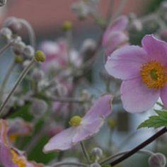 Herbst-Anemone Anemone tomentosa 'Robustissima'