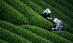 Tea Gardens of the Assam Valley in the northeastern state of India. - Tea Gardens of the Assam Valley in the northeastern state of India. Agra Fort, Lake Garden, Tea Plant, Northeast India, States Of India, India Tour, Orchid Care, Tourist Places, Incredible India