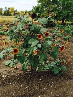 My sunflowers beating to their own drum! Sunflowers, Drums, Harvest, Pumpkin, Plants, Outdoor, Outdoors, Gourd, Pumpkins