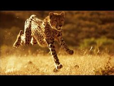 The Smithsonian Channel Explains Why You Can't Outrun a Cheetah  amazing video. 0 to 60 mph in 3 seconds