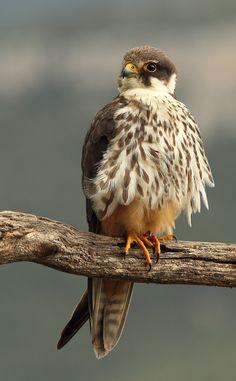 Types Of Eagles, Bald Eagle, Destiny, Asia, Birds, Nature, Falcons, Birds Of Prey, Parts Of The Mass