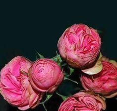 Helps Piaget rose
