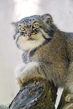 Le Chat de Pallas (ou Manul) est un chat sauvage originaire d'Asie centrale. Crazy Cats, Big Cats, Cool Cats, Cats And Kittens, Small Wild Cats, Small Cat, Beautiful Cats, Animals Beautiful, Pretty Cats
