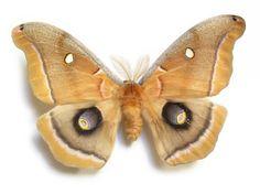 Saturniidae - Pesquisa Google