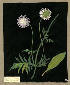 Scabiosa Arvensis, from an album (Vol.X, 59); Field Scabious. 1782 Collage of coloured papers, with bodycolour and watercolour, on black ink background