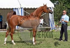 RAVILLE P (NL) 2003 Chestnut Russian-related Arabian mare. Durango {Elton x Libanon Kristal by Esta-Ghalil} x Rigona {Abakan x Ragonka by Kadour} Bred and owned by Luut Schutrups, Familie van Duyvenbode, the Netherlands.