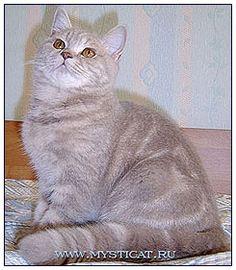 British shorthair cat, lilac classic tabby