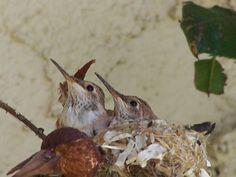 Little Hummingbird babies!