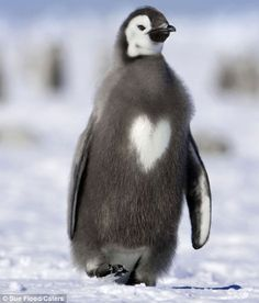 penguin with heart