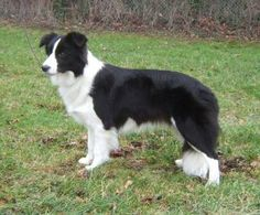 Border Collie. They are members of the herding group. They are great sheep herders. They stand at 18-22 inches at the shoulder and weigh about 30-45 pounds.