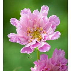 A double cosmos with flowers like ruffled satin, in a lovely sweetie-pink colour. It's known its tall, strong stems and so is very Good for Cutting.