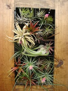 Growing everywhere from Virginia all the way to South America, Tillandsia, or air plants, are proudly the largest genus in the Bromeliad family. Description from atlanticavenuegarden.com. I searched for this on bing.com/images