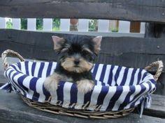 Bonito yorkshire miniatura terrier de criadero cantillana sevilla