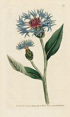 William Curtis Botanical Magazine 1st Edition Prints 1787                                                                                                                                                                                 More