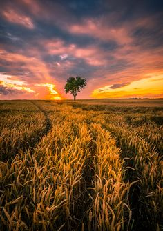 ~~Cornfield And Tree by Rong Yang~~