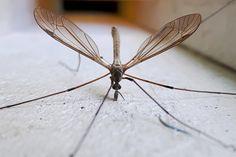 Mosquito male