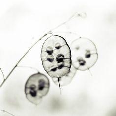 Lunaria . black and white photograph . Botanical Art . black white Photography print . minimalist . modern .  8x8 print