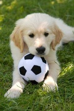 Golden Retriever puppy with soccer ball - Royalty Free Images, Photos and Stock Photography :: Inmagine