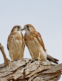 The Nankeen Kestrel - Falco cenchroides, is a slender falcon and is a relatively small raptor. Nankeen Kestrels are found in most areas of Australia and are also found on islands along Australia's coastline, as well as New Guinea and Indonesia.      Photo by Patrick Kavanagh.