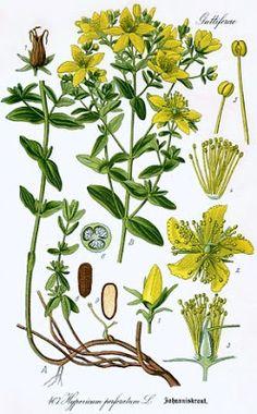 Growing Hermione's Garden: Hypericum perforatum - St. John's Wort