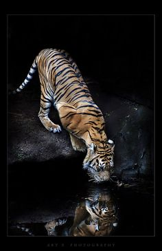 10 percent of all national income is paid out to the 1 percent as capital income. Pet Tiger, Bengal Tiger, Big Cats Art, Cat Art, All About Animals, Animals Of The World, Beautiful Cats, Animals Beautiful, Tiger Drawing
